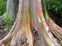 Древесина эвкалипта