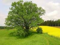 Свойства древесины дуба