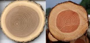 Из чего состоит древесина