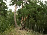 Какова древесина под корой