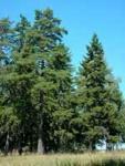 Тепловые свойства древесины пример ель